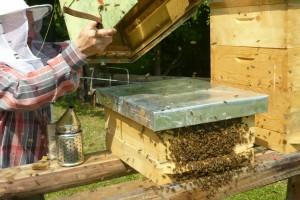 včelárstvo - osadenie roja